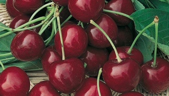 Cerisier conseils de plantation taille et entretien for Cerisier nain garden bing