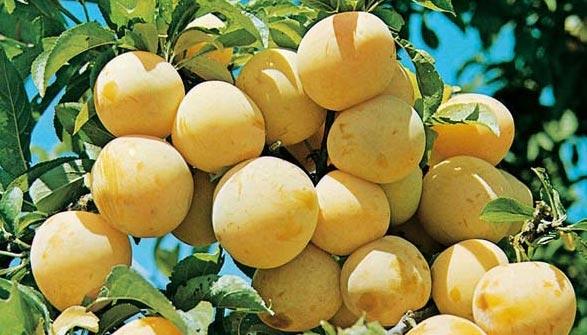 Prunier conseils de plantation taille et entretien - Taille des pruniers mirabelles ...