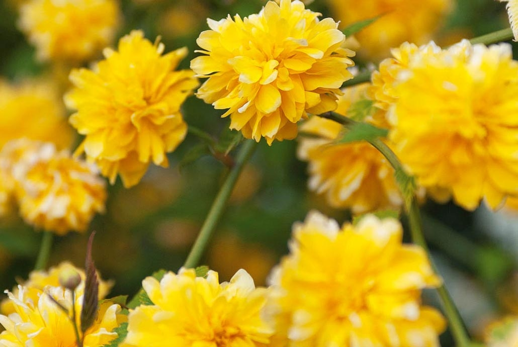 Arbuste à pompons jaunes