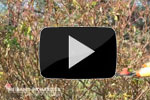 lien video taille rosier paysager